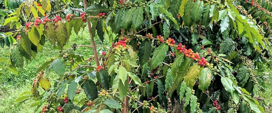 Etiopisk kaffe